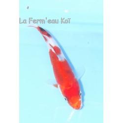 Sanke 12-15cm Japon Ogata...