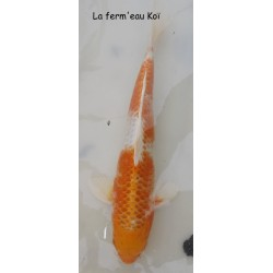 hariwake Grade A 30-35cm