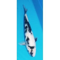 Shiro Utsuri 35 cm