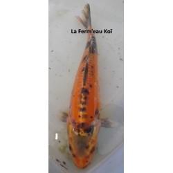 mizuho femelle 30-35cm
