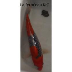 Goshiki 20-25cm Japon Kaze