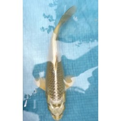 Mukashi 20-25 cm