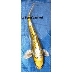 Doitsu ki ghost 25-30 cm