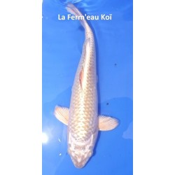 Mukashi 25-30 cm