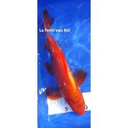 Benigoï voile 30-35 cm