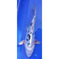 Doitsu shiro bekko 20-25 cm