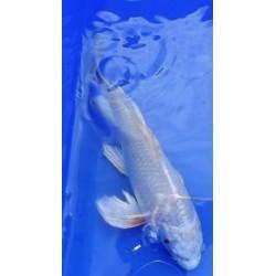 Hariwake voile 20-25 cm