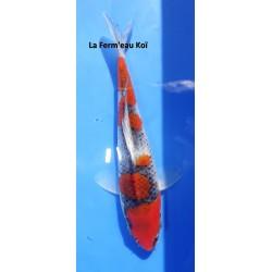 Tosaï : goshiki 20-25cm Kanno