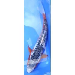 SHUSUI femelle 25-30cm