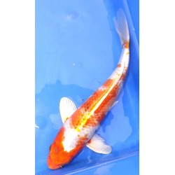 Hariwake 30-35 cm