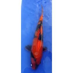 Hi Utsuri 30 - 35 cm