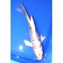 Doitsu yamabuki voile 25-30 cm