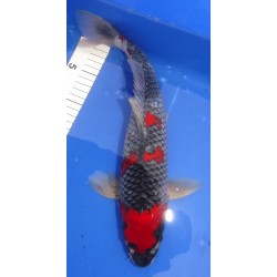 Goshiki 39cm AOKI