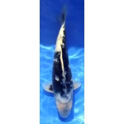Shiro Utsuri 30-35cm HIRASAWA