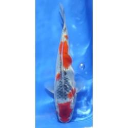 Goshiki 20-25cm KAWAKAMI