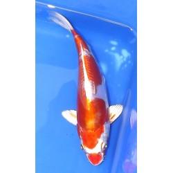 Kikusui18-20cm IKARASHI OZUMI