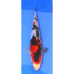 Doitsu Sanke 20-25cm MARUHIDE