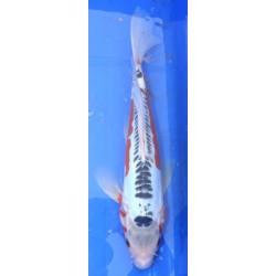 Shusui voile 35-40 cm