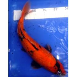 Hi Utsuri 35-40cm