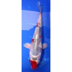 Goshiki 20-25 cm