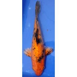 Kin Utsuri voile 30-35 cm