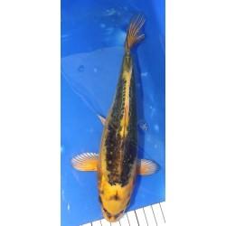 Ki Kikokuryu 25-30 cm