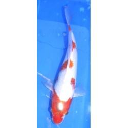 Ai Goromo voile 25-30 cm