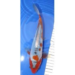 Shusui 25-30 cm