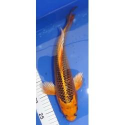 Kin Matsuba voile 35-40 cm