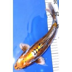 Ki Kikokuryu 30-35 cm
