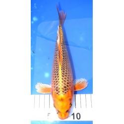 Kin Matsuba voile 25-30 cm
