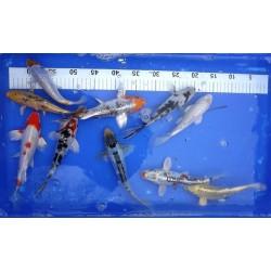 20-25 cm : lot de 10 poissons