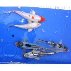 20-25 cm : lot de 5 poissons