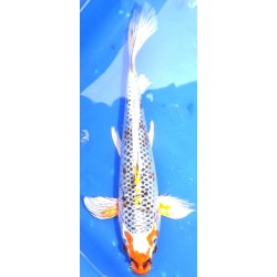 Kujaku voile 20-25 cm