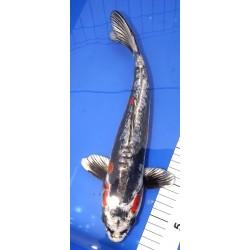 Beni Kikokuryu 30-35cm YAGENJI