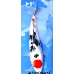 Taisho Sanke 20-25cm Hirasawa