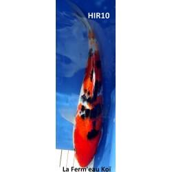 Sanke 25-30cm Hirasawa