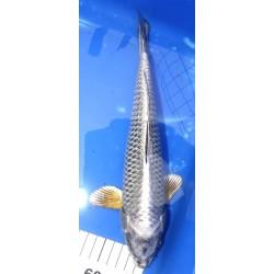 Matsuba 30-35cm Hirasawa