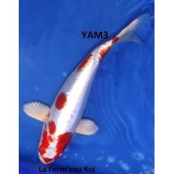 Kikusui 20-25cm YAMAZAKI