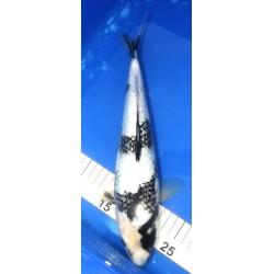Ginrin Shiro Utsuri 33-34cm...