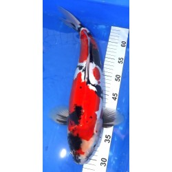 Doitsu Showa 41cm MARUHIDE