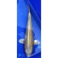 Ginrin Yamabuki 30-35 cm