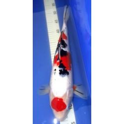 Maruten Sanke 40-45 cm IZUMIYA