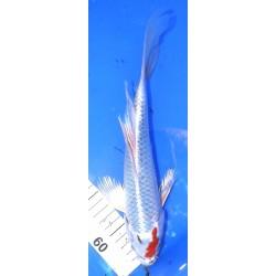 Kujaku voile 25-30 cm