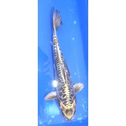 Kin Kikokuryu 20-25 cm