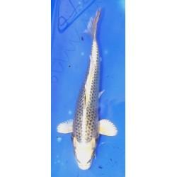 Ginrin Ki Matsuba 20-25 cm