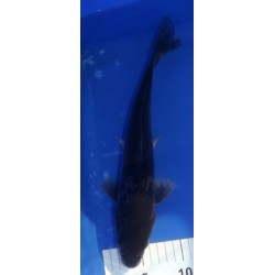 Magoï 30-35 cm