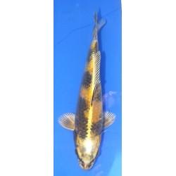 Ki Utsuri 25-30 cm