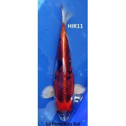 Kujaku 25-30cm Hirasawa