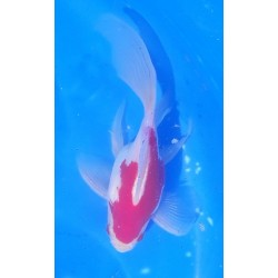 Tamasaba mâle env12 cm...